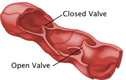 Lymph Valves
